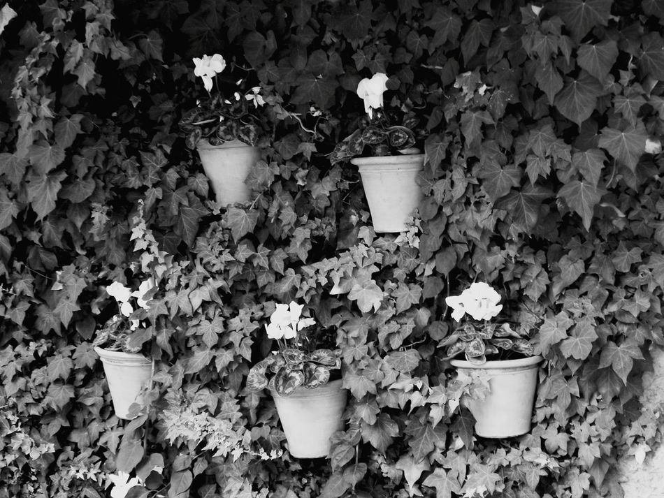 Flower potts hanging Garden Garden Photography Flower Potts At A Wall Wall With Ivy Flower Potts Special Arrangement Summertime Black & White Majorca Cyclamen