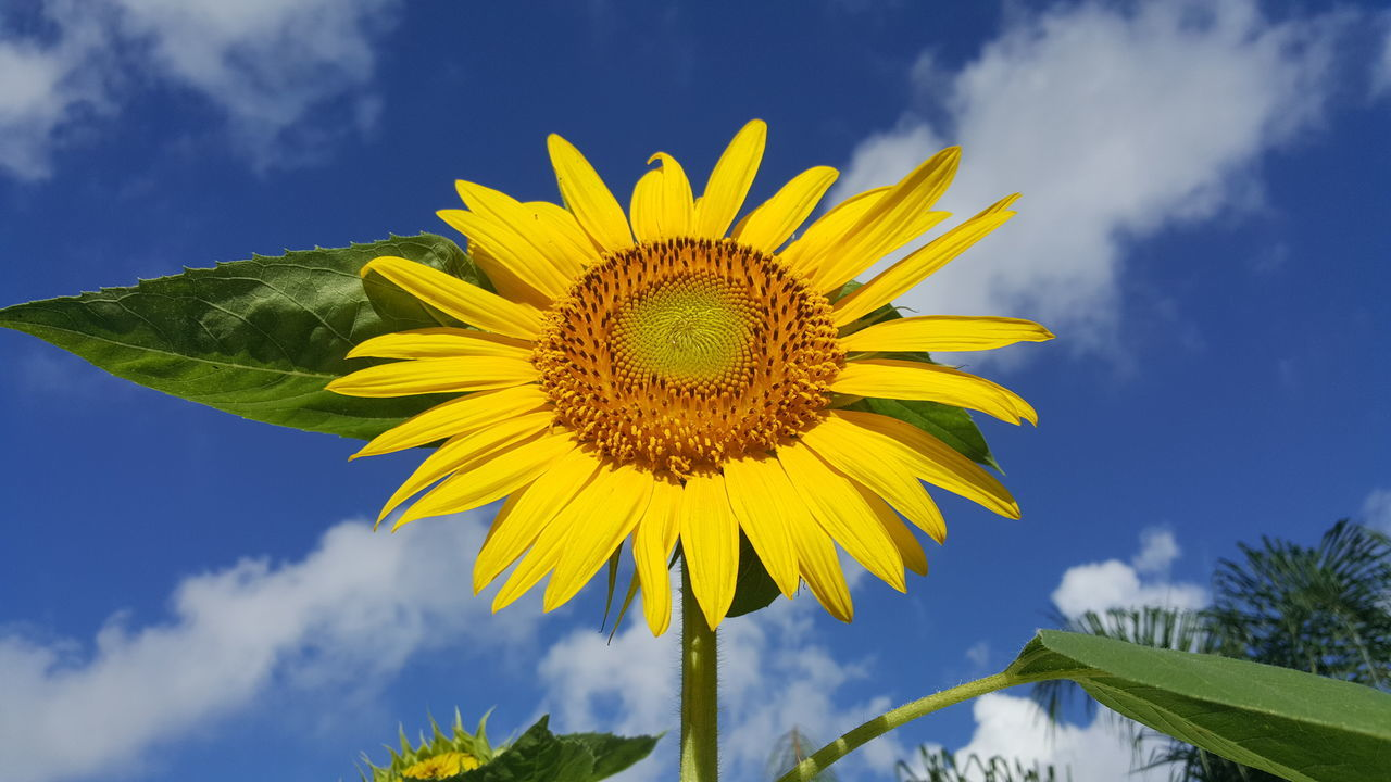 No Filter, No Edit, Just Photography Sunflower Sunflowers Sunflower Against Sky Sunflower And Sky Colour Of Life