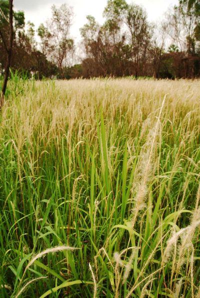 Background Blady Grass Cogon Grass Field Grass Imperata Imperata Cylindrica Japanese Bloodgrass Kunai Grass Lalang Open Field Silver Spike South East Aisa Speargrass