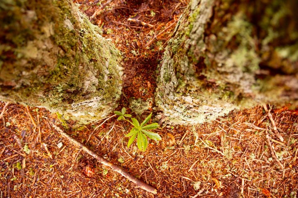 Between Trees Close-up Natures Diversities Forest Photography Forestwalk Ground Grounded Life Life In The Forest Life In The Woods Nature Photography Nature_collection Nature_perfection Naturelovers Naturephotography Outdoors Roots Roots Of Imagination Tree Tree And Earth Tree Trunk Tree_collection  TreePorn Wood