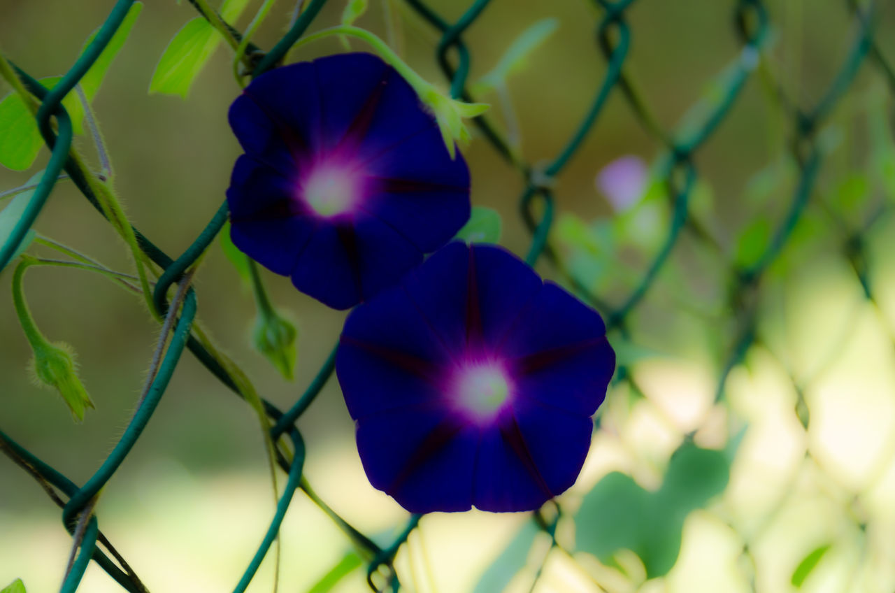 flower, petal, beauty in nature, fragility, growth, nature, flower head, freshness, purple, plant, day, no people, blue, close-up, outdoors, blooming