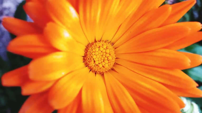 Orange Color Flower Nature Petal EyeEm Nature Is Art Season  Maximum Closeness Eyem Best Shots