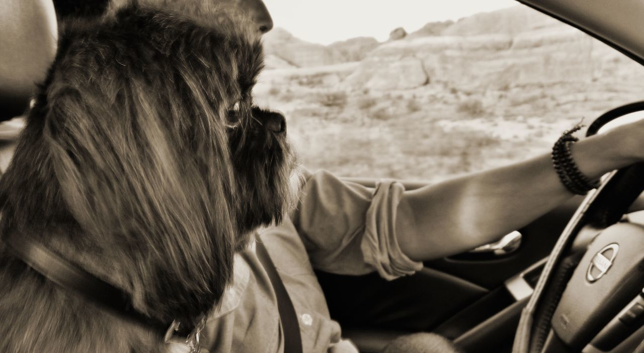 Cropped Image Of Man In Car With Shih Tzu