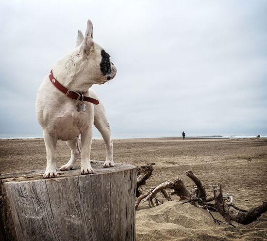 Is he coming? Animal Themes Atthebeach Beach Day Dog Domestic Animals French Bulldog Frenchbulldog Frenchie Horizon Over Water Mammal Nature No People One Animal Outdoors Pets Sea Sky Standing Water