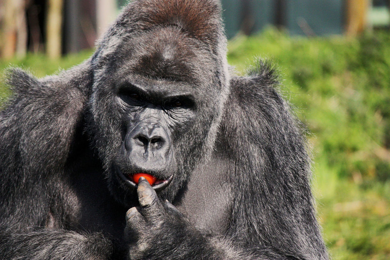 Male Gorilla eating a tomato, love the contrast in colour here Nature Wildlife & Nature Zoo Animals  Zoo Gorilla Gorilla In Zoo Gorilla Eating