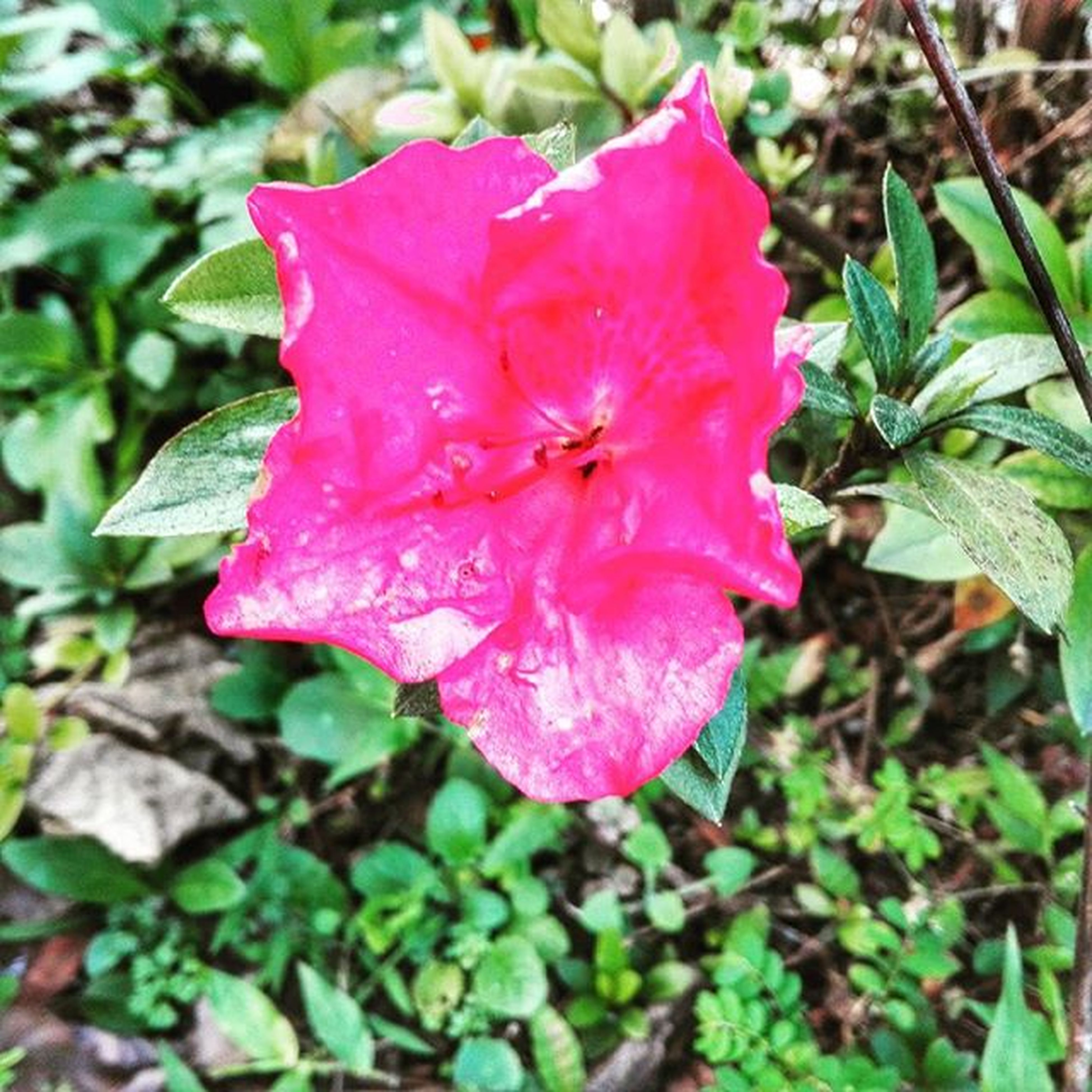 flower, petal, freshness, fragility, flower head, pink color, growth, beauty in nature, close-up, blooming, single flower, nature, focus on foreground, plant, leaf, in bloom, pink, drop, wet, pollen