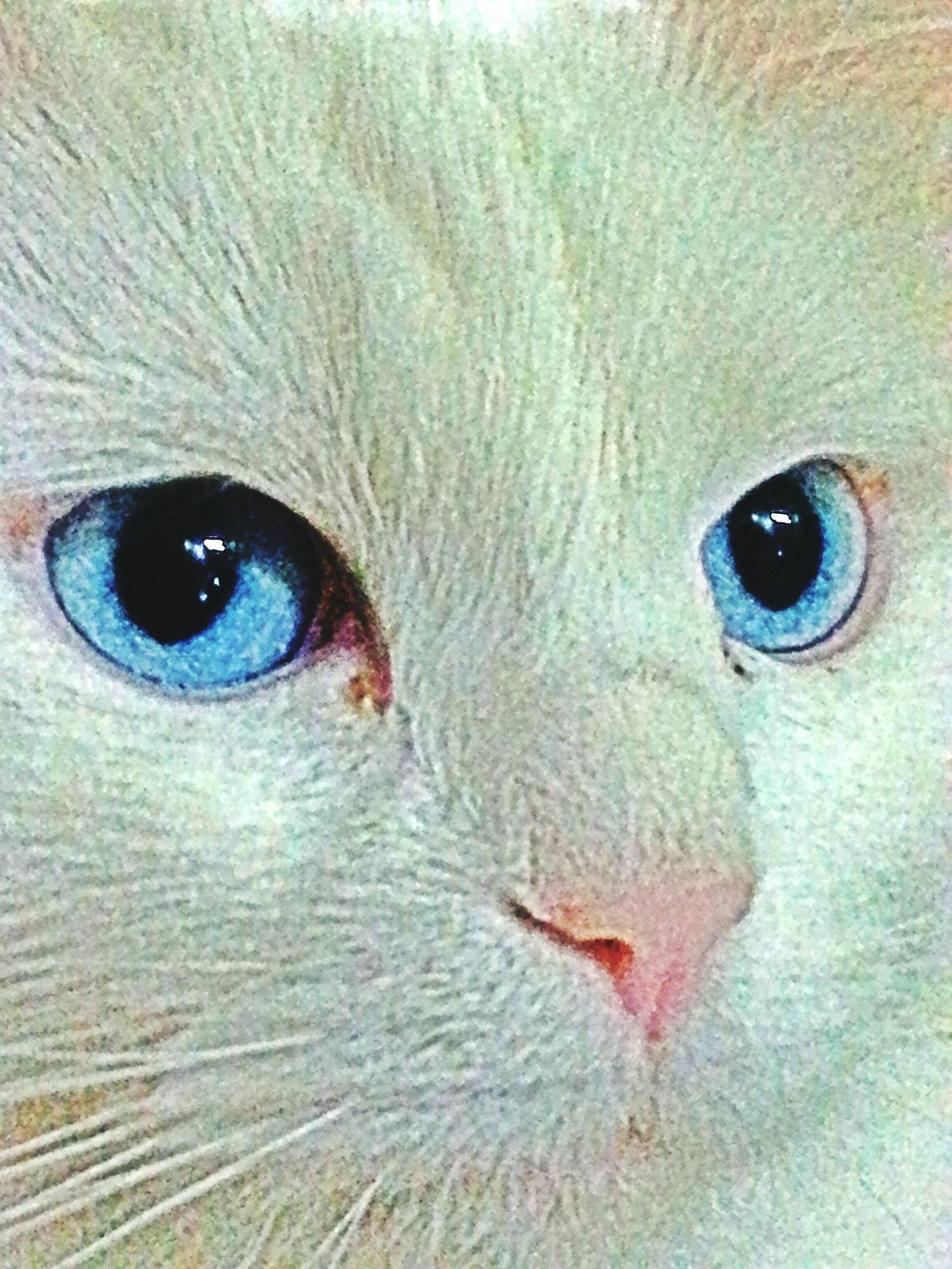 Cat Cats Blue Eyes Mycat Ankarakedisi