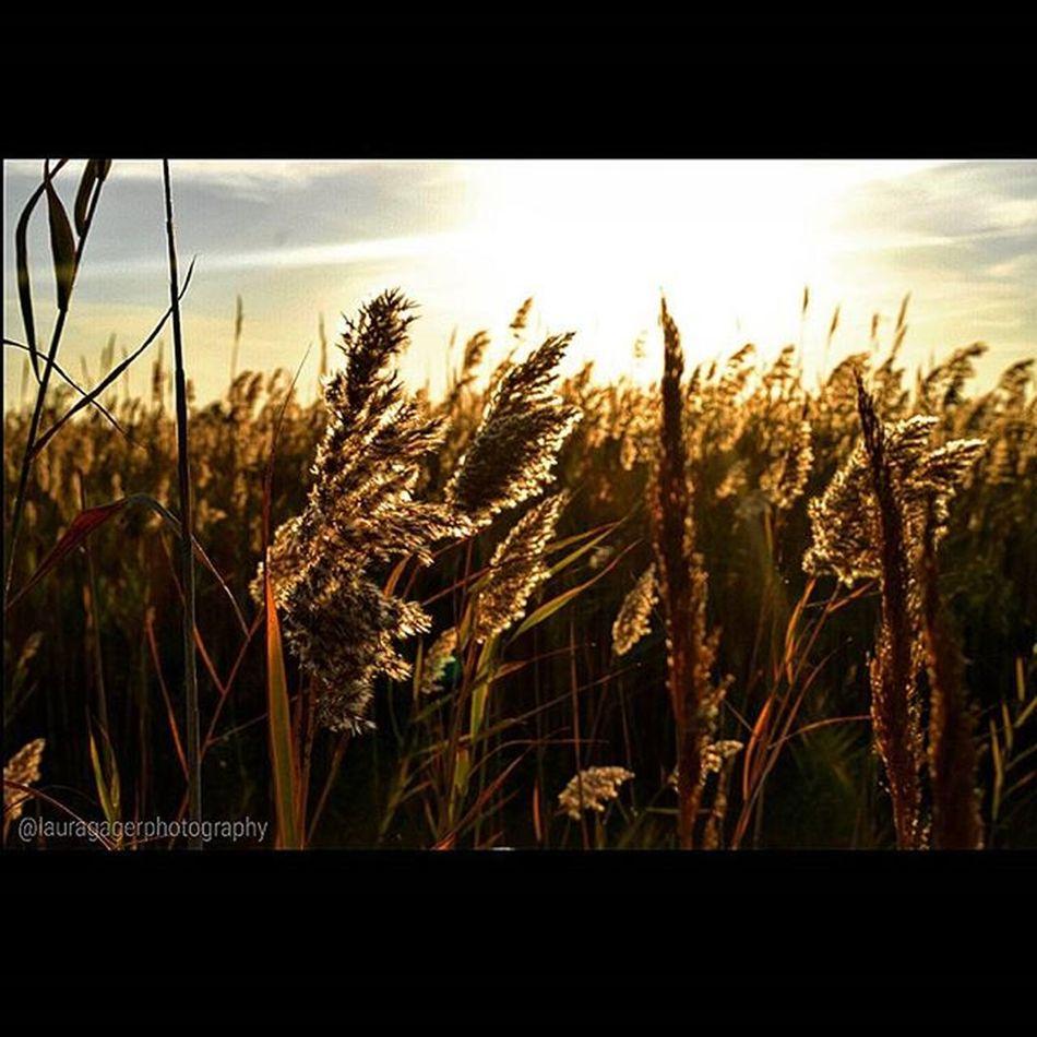 AspiringPhotographer Nikon_photography Nikonshots Nikontop Nikonphotography Nikon Beach Longisland WestEnd Fallfeels Fall Autumn Dunes Duneplants Nature Sunset Beautiful Instagood Fallintoolympus