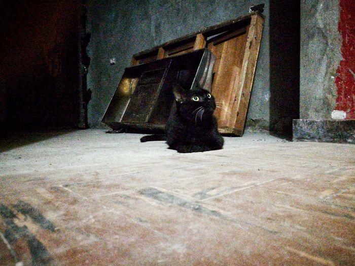 ElMushu Cat Cats Migatomodelo Gato