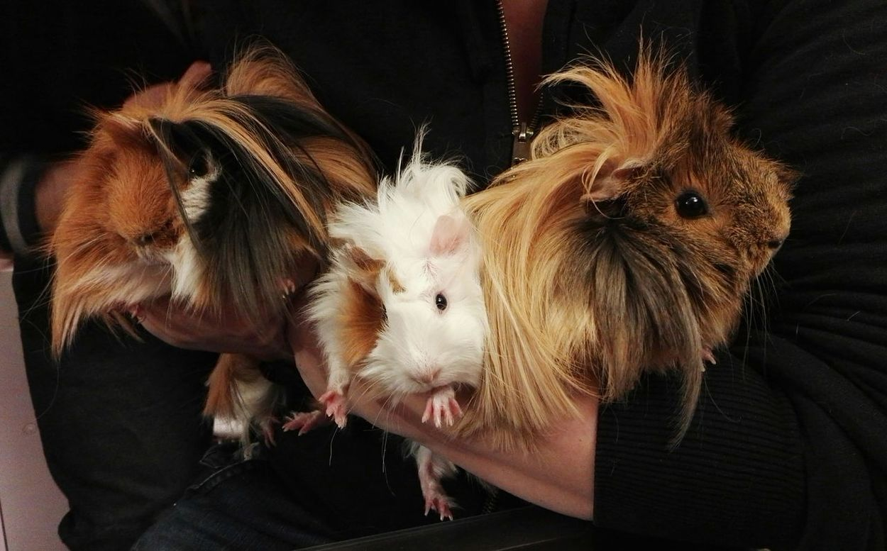 To my friends, Titone's family. Titone, his wife Clear and their adopted daugther Sunsilk Animal Themes Domestic Animals Mammal Pets Guinea Pig