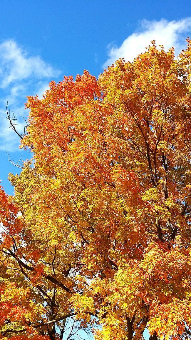 Tree Fall Autumn Autumn Colors Leaves Fall Leaves Autumn Leaves Sky Autumn Sky 가을 가을하늘 단풍 캐나다 나무 가을 정서