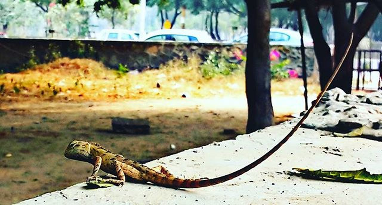 Parking Joint Suddenly A Wild Lizard Appear Poser Reptile