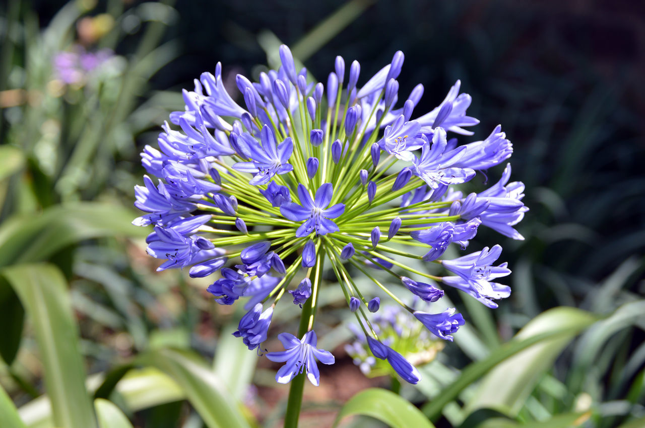 Agapanthus Beauty In Nature Close Up Close-up Day Flower Nature No People Purple Springtime