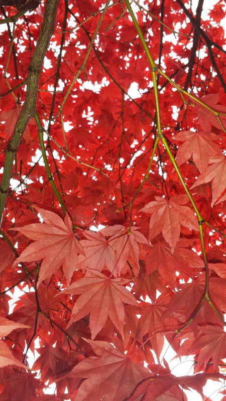 🍁🍁🍁🍁 Tree Maple Leaf Red Maple Tree Red Leaves Red Maple Leafs Beautiful Tree TreePorn Leaf Autumn Colors Leaves Awesome_nature_shots Leafporn Awesome_shots Awesome Tree Nature_collection EyeEm Best Shots - Nature Naturephotography Beautiful Leaves Beautiful Nature Nature_perfection Autumn Leaves Eye4photography  Autumn Epic Shot Photography Naturelovers