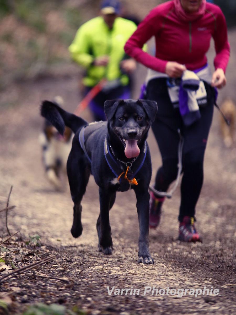 """la ronde du Salbert 2016 à Cravanche (90) en France. Le """" Canicross """" : course de 10,6 km avec un D+ de 350m. Animal Themes Animals Beauté Canicross Chien Dog Photography Sports Photography"""