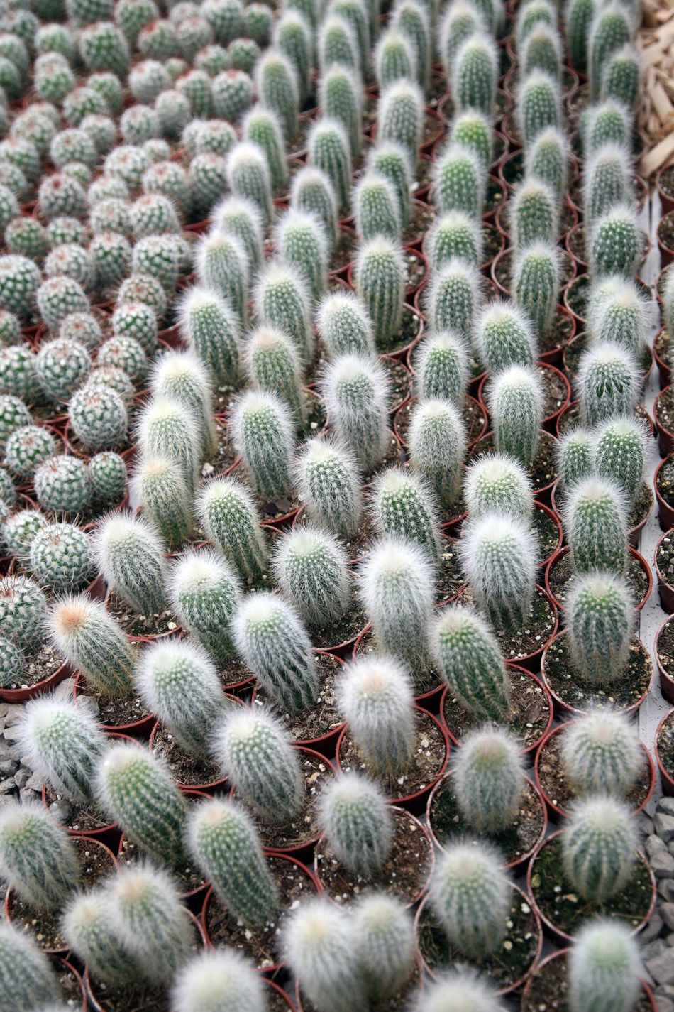 Cactus Beauty In Nature Botanic Botanical Botany Cacti Desert Exotic Flora Floral Garden Green Growth Nature Needle Plant Prickly Spike Spine Succulent Thorn Tropical Wild