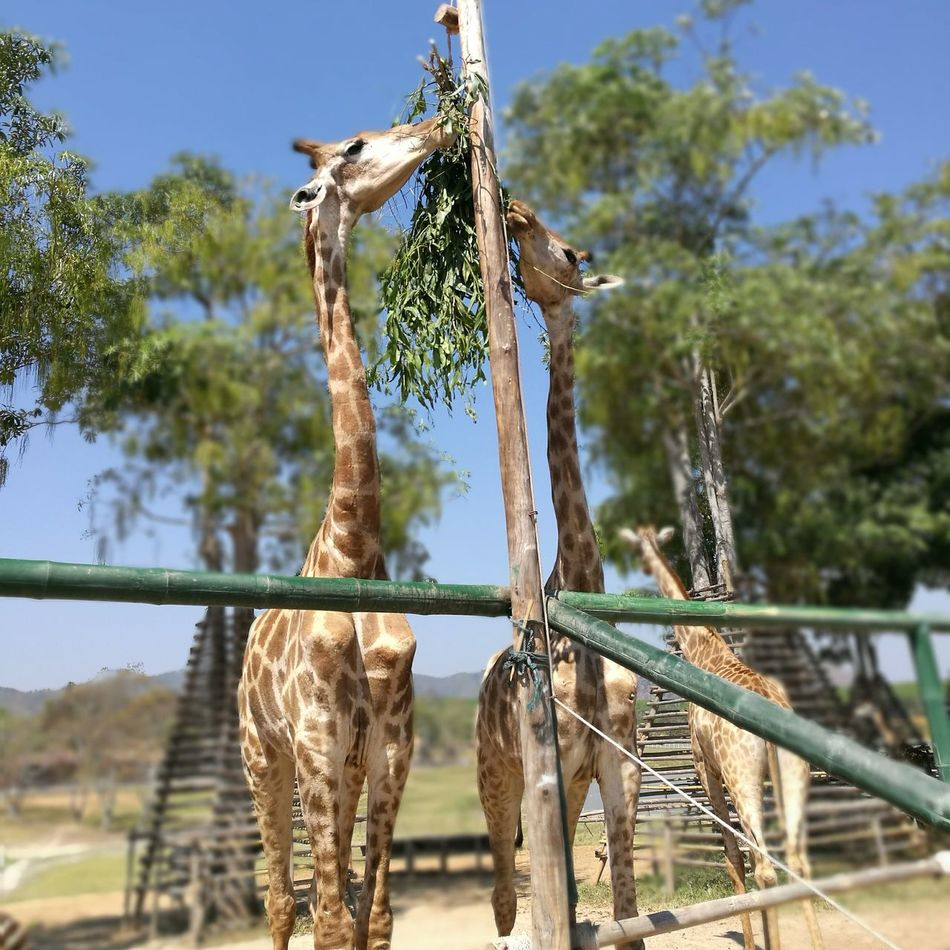 Giraff at Singha farm Tree Animal Themes Beauty In Nature Clear Sky Outdoors Giraffe Giraffe♥ Chiangrai,Thailand Thailand Animals One Animal