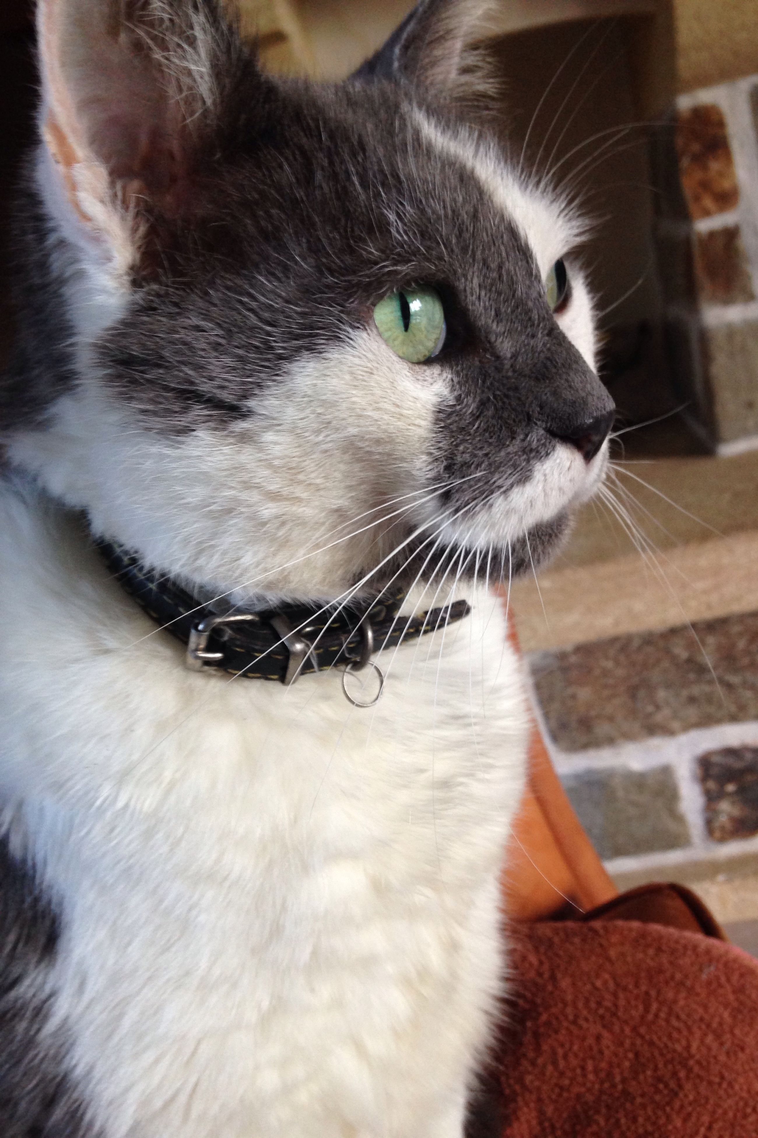 domestic cat, pets, cat, one animal, domestic animals, animal themes, feline, whisker, mammal, indoors, close-up, animal head, animal eye, looking away, focus on foreground, alertness, relaxation, home interior, staring, part of
