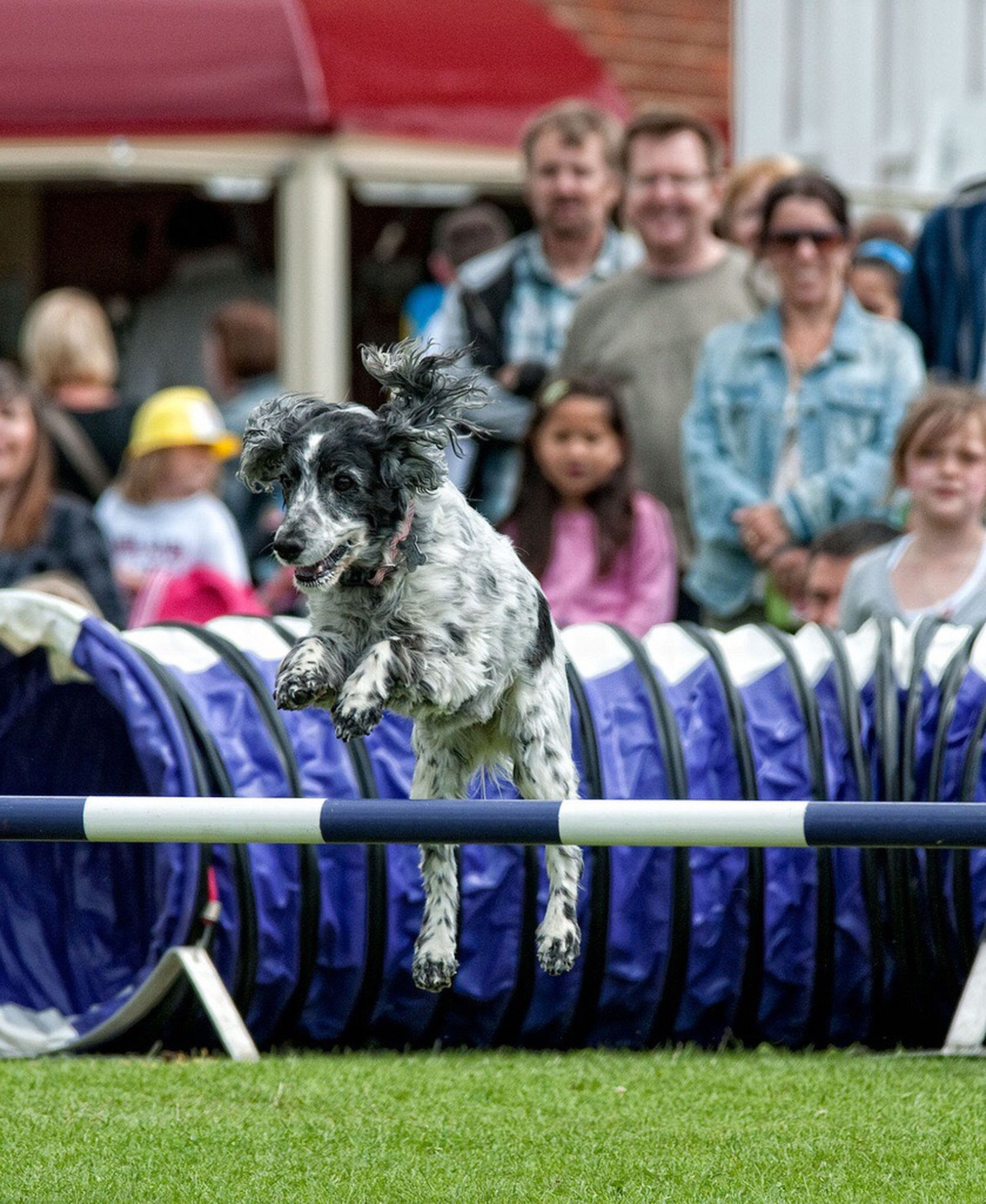 The flying spaniel Taking Photos Dogs In Action Dog Portrait Working Dogs Cockerspaniel Pet Photography  Dog Photography Relaxation Dog Countyside Country Fair Dog Agility