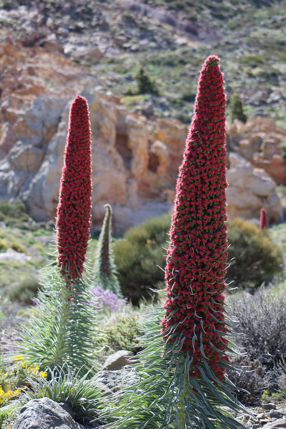 Natural Pattern Plant Succulent Plant Day Outdoors Botany Tenerife. Teide Tajinastes Two Is Better Than One