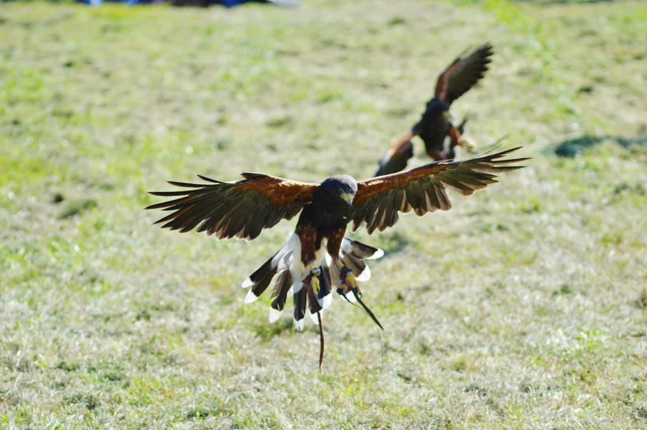 Bird Flying Spread Wings Focus On Foreground Close-up Beak Beauty In Nature Flight Nature Flapping Power In Nature Capturing Movement Birds Of Prey Raptor Birds In Flight Harris Hawk  Hawk Falconry Days Out Nature