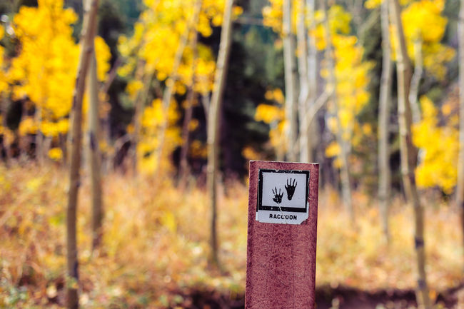Aspen Trees Colorado Fall Colors Focus On Foreground Golden Gate Canyon State Park Hiking Hiking Trail Information Sign Nature October Outdoors Raccoon Trail Selective Focus Yellow