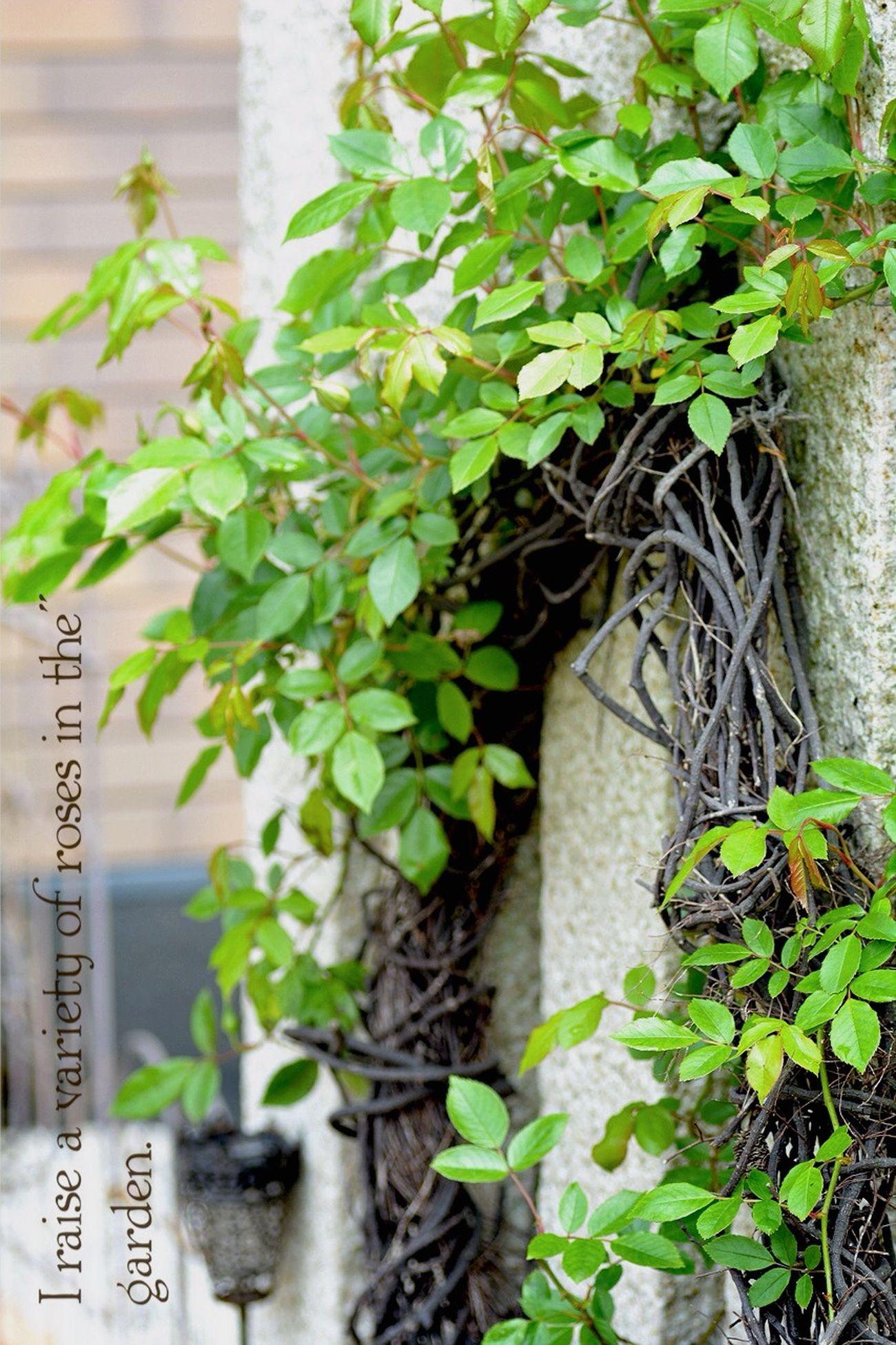 Japan EyeEm 2015 TAMROM Nikon D5200 In My Garden... 庭に咲く花 薔薇の新芽 Enjoying Life