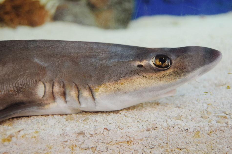 Sharks Live Sharks Golden Eyes 43 Golden Moments Leafscale Gulper Shark Animals Deep Sea Diving Aquariums Showcase June Shark Week
