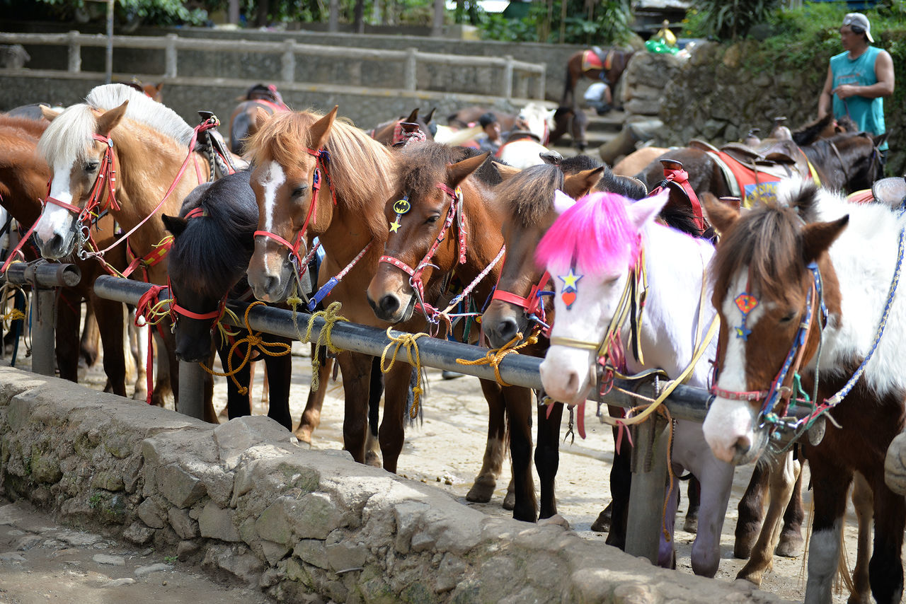 animal themes, working animal, domestic animals, horse, mammal, livestock, day, outdoors, large group of people, real people, nature, people