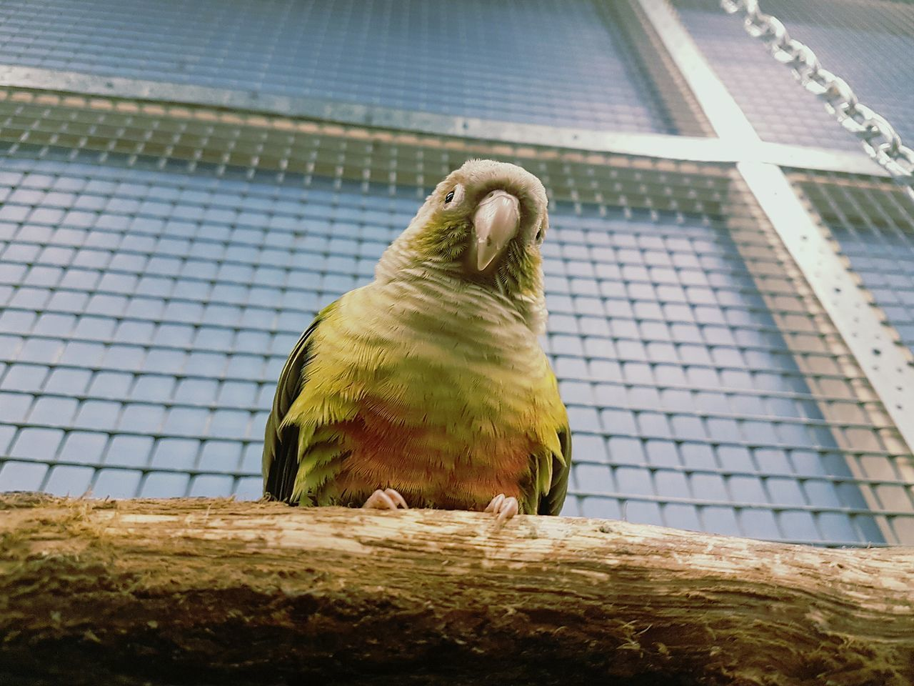 one animal, bird, animal themes, perching, animal wildlife, animals in the wild, parrot, day, no people, cage, budgerigar, low angle view, outdoors, nature, close-up, pets
