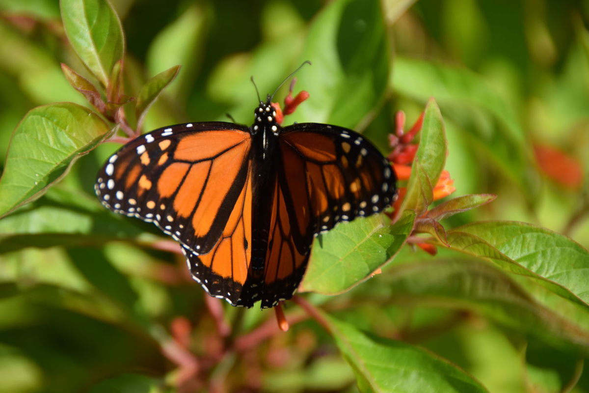 Butterflies migrating for winter. Monarch, Butterfly Monarch Butterfly Monarchbutterfly Monarch Butterflies Monarch Butterfly On Flower. Monarch Butterfly On Flower