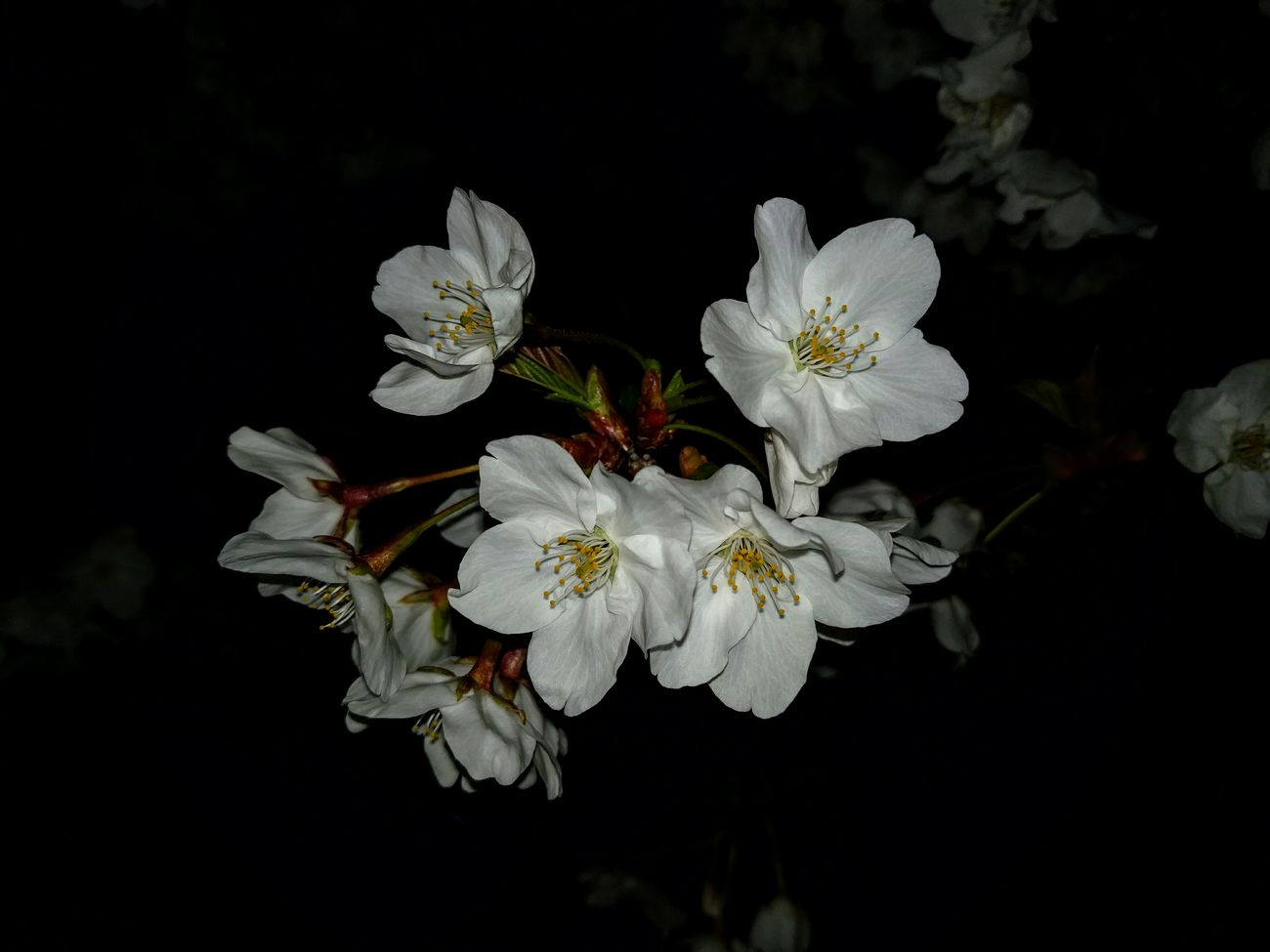 Cherry Blossoms Flowers, Nature And Beauty Flower Porn Nighview Spling Has Come Night Jog Eyem Flower_collection Eyem Nature Lovers