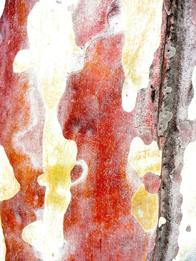 Abstract Baum Rinde Close-up Colourful Tree Bark Eucalyptus Tree Bark Full Frame No People Pattern, Texture, Shape And Form Patterns In Nature Patterns,textues & Forms In Tree Bark Textured  Textures Textures & Surfaces Tree Bark Patterns Tree Bark Textures