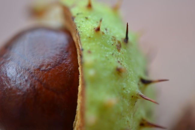 TakeoverContrast Selective Focus Close-up Freshness Green Color Extreme Close-up Macro Green Organic Thorn Extreme Close Up Botany No People Castagne Riccio Autumn Autumn Colors Autumn Collection Autunno  Contrast Liscio Spine Colors and patterns