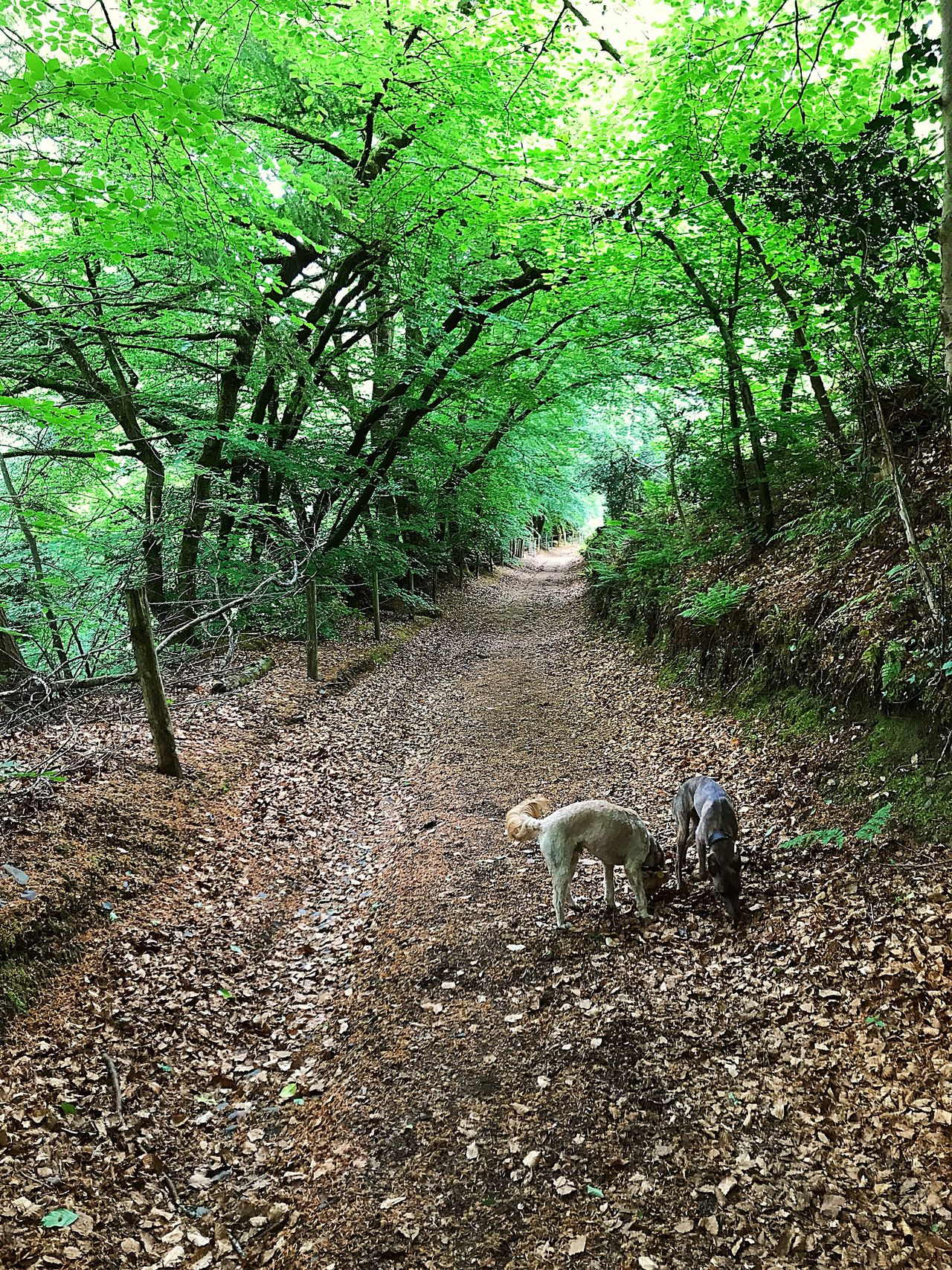Devon A Long Walk Domestic Animals Byway Trees And Nature Trees And Leaves Trees Forming Shapes Arch Shape Leafy Walk On A Summers Day Two Dogs Playing