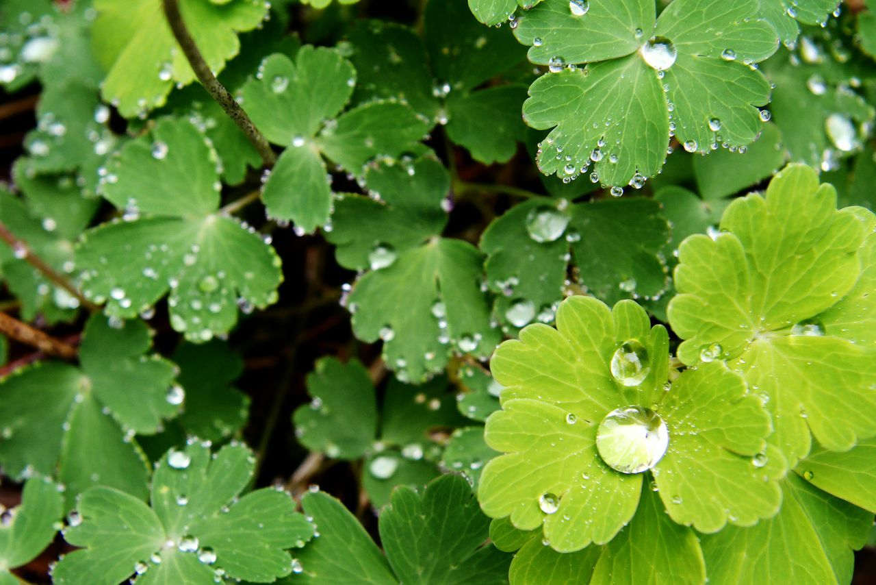 Making the most of a rainy week. Rain drop beads on new leaves. Green Leaves Naturelovers Nature Photography Green RainyDays Beads Of Water Newleaves Waterdrops Water Droplets Outdoors Nature Green Color Beauty In Nature