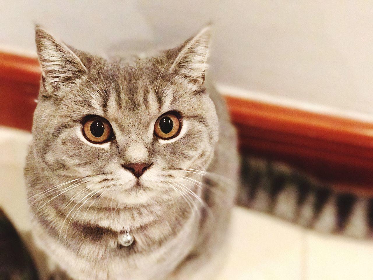 Close-up Domestic Cat Animal Themes Feline Portrait Cat Lovers Cat Animal Lover Kitten Grey Fur Golden Eyes