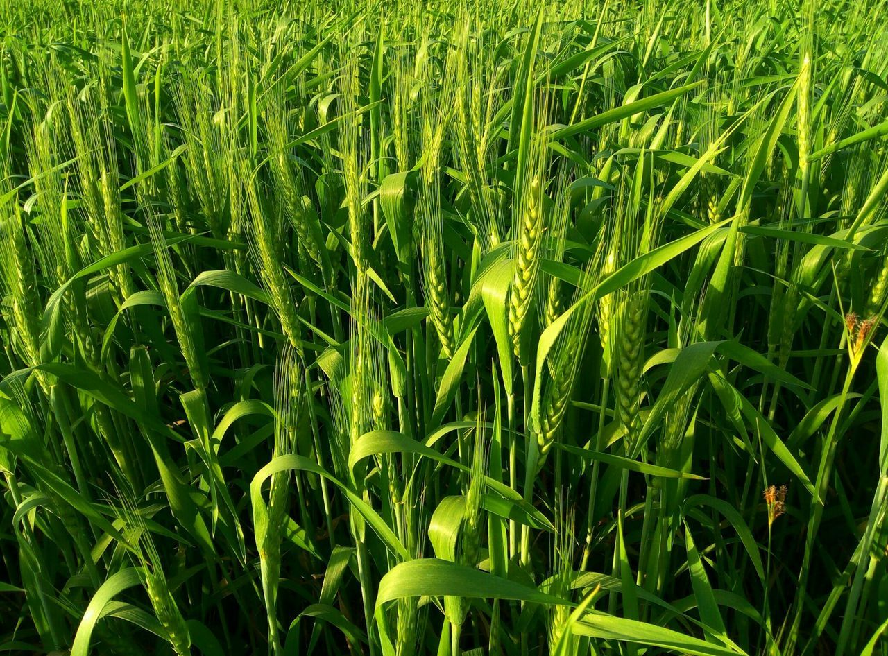 Growth Green Color Nature Beauty In Nature Field Crop  No People Backgrounds Grass Cereal Plant Plant Rural Scene Full Frame Tranquility Rice Paddy Agriculture Outdoors Rice - Cereal Plant Day Close-up EyeEm Best Shots - No Edit Nature Photography Wheat Field Agriculture Beauty In Nature