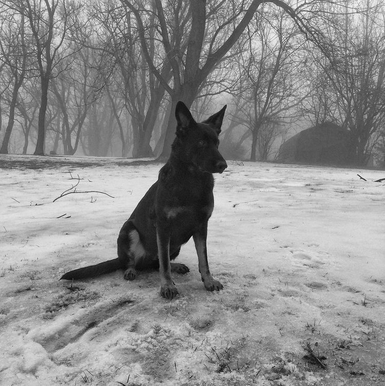 Mae Fog German Shepherd