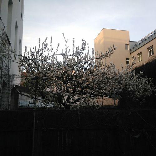 Marillenbaum Tree Blütenpracht Blüten