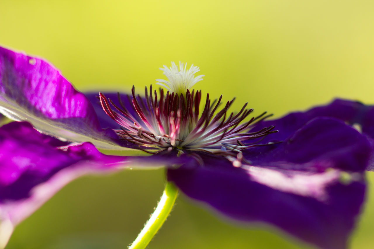 flower, fragility, petal, purple, flower head, beauty in nature, freshness, growth, nature, selective focus, close-up, plant, no people, studio shot, day, outdoors, blooming
