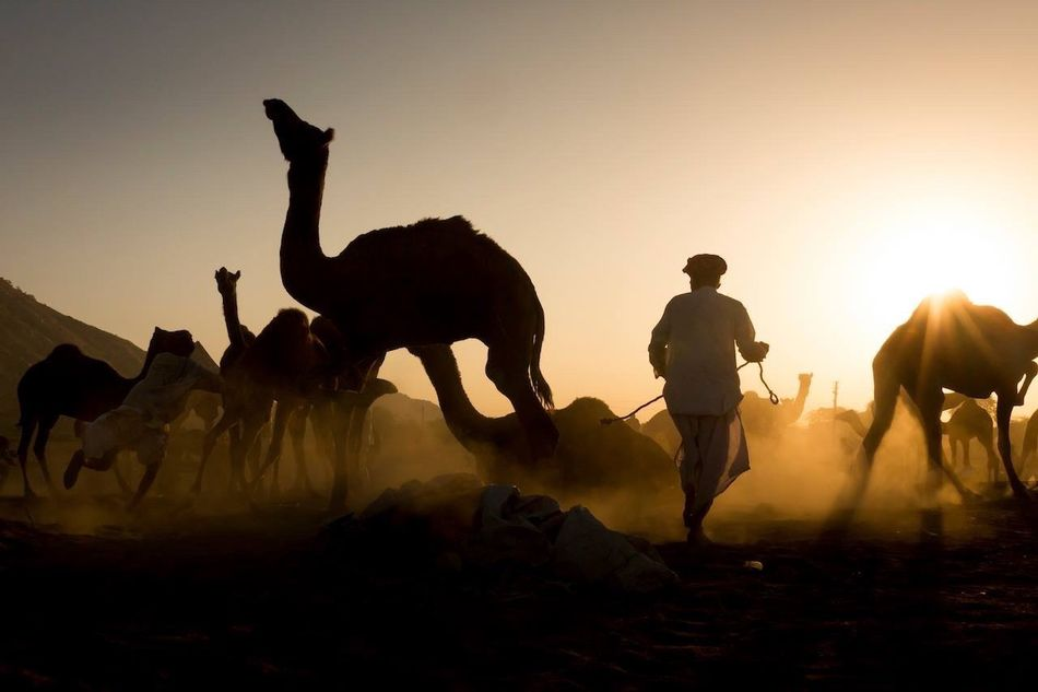 Finding New Frontiers Pushkar Sunset Animal Desert Sun People Rajasthan India Travel Travel Photography Travel Destinations