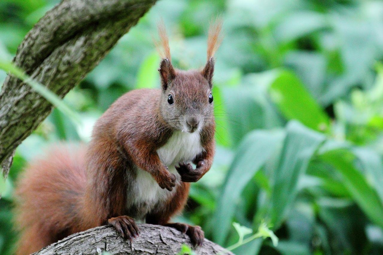 Eichhörnchen Eichhörnchen Squirrel écureuil