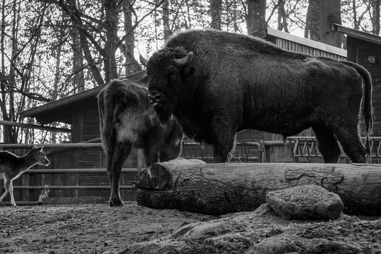 Animal Themes Bison No People Wisent