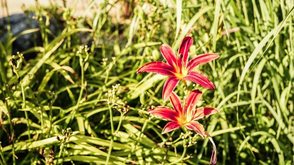 Flower Nature Plant Beauty In Nature Petal Freshness Focus On Foreground Flower Head Red Close-up No People Outdoors Blooming Day Selfmade Blury