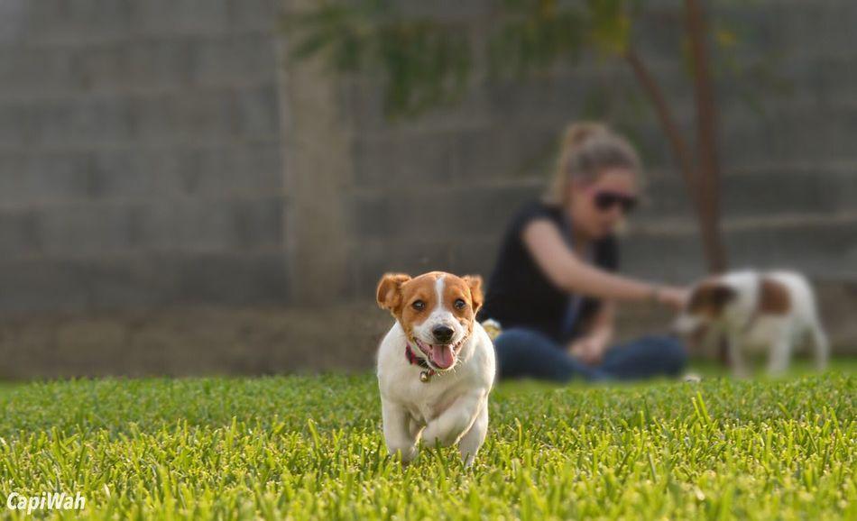 Felicidad... Jackrussellterrier Jack Russell Jackrussel Dogs Dogslife #jrt Petstagram Animalsofinstagram Happiness CapiWah