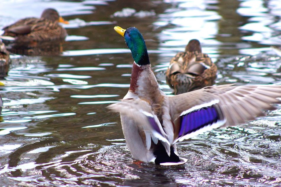 Flapping Its Wings Ducks Ducks In The Water Duck Photography Duck Collection Bird Bird Photography Birds_collection Birds Of EyeEm  Bird Watching