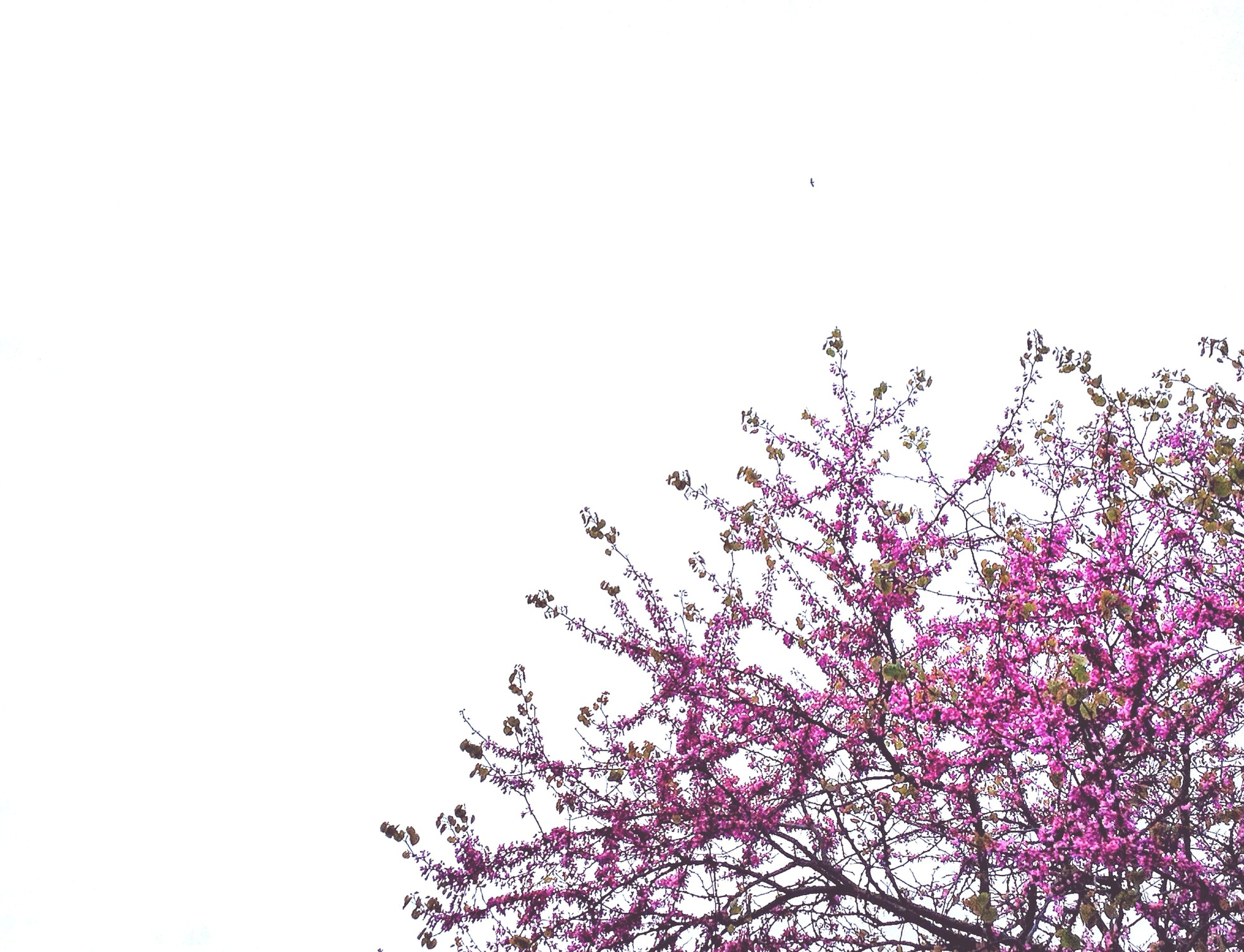 clear sky, copy space, low angle view, flower, growth, beauty in nature, nature, tree, freshness, branch, fragility, high section, tranquility, outdoors, no people, day, plant, pink color, sky, blooming