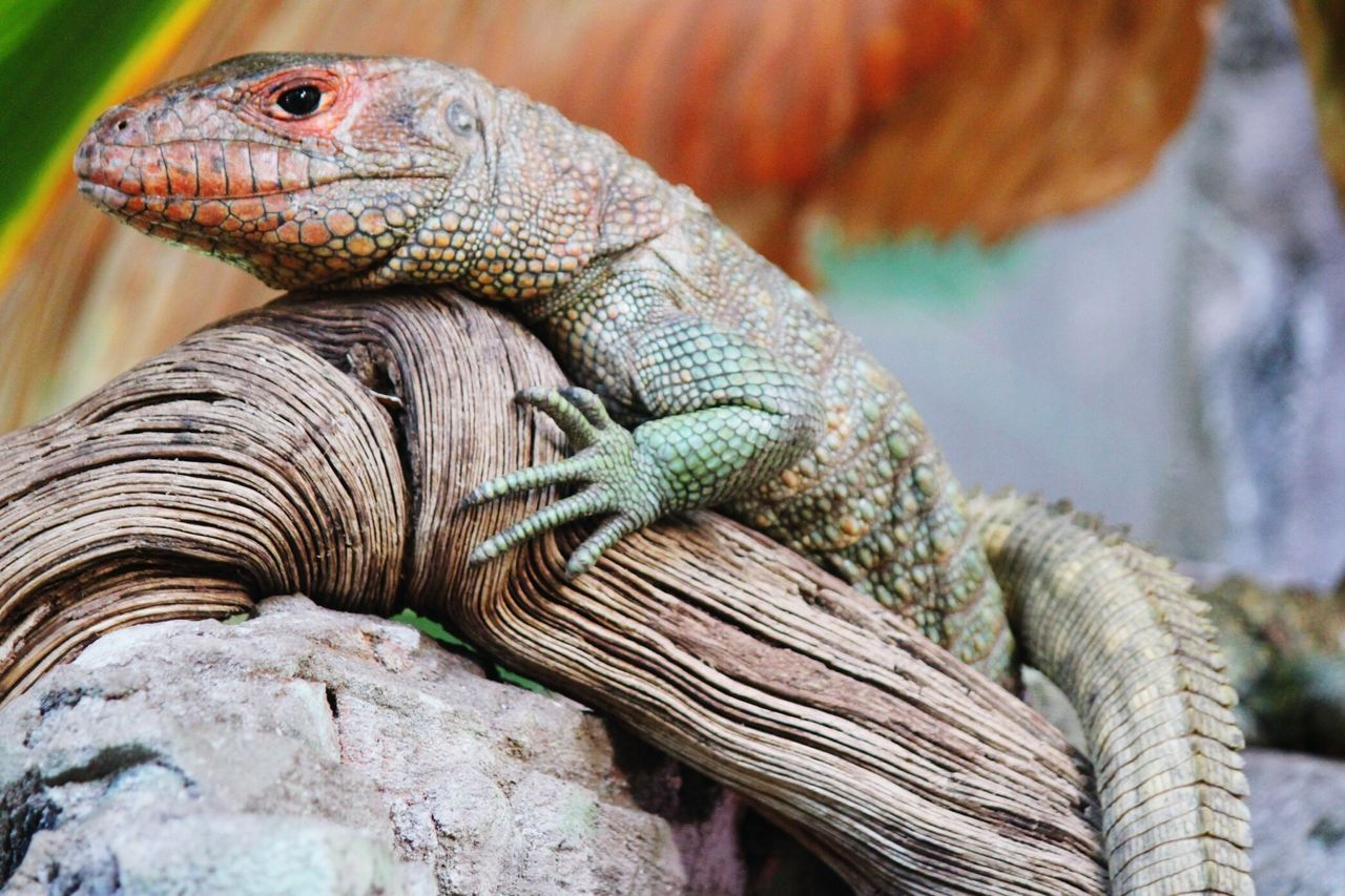 reptile, animal themes, animals in the wild, one animal, animal wildlife, bearded dragon, lizard, no people, day, close-up, outdoors, nature, iguana