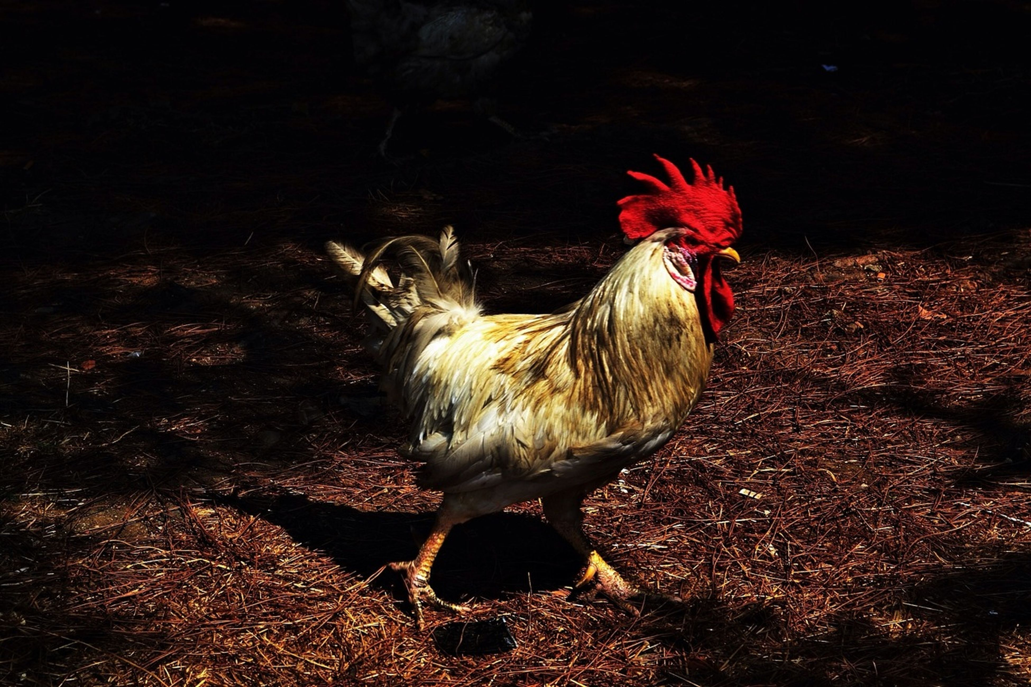 animal themes, bird, one animal, domestic animals, animals in the wild, livestock, wildlife, chicken - bird, red, rooster, nature, sunlight, field, zoology, full length, outdoors, hen, day, no people, side view